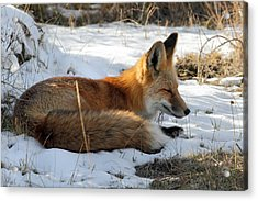 Red Fox Sleeping In The Snow Acrylic Print by Pierre Leclerc Photography
