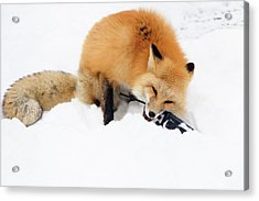 Red Fox To Base Acrylic Print