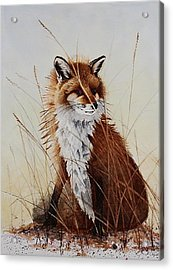 Red Fox Waiting On Breakfast Acrylic Print