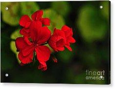 Red Geranium Acrylic Print by Kaye Menner