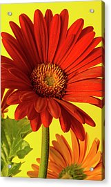 Acrylic Print featuring the photograph Red Gerbera Daisy 2 by Richard Rizzo