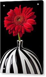 Red Gerbera Daisy Acrylic Print