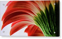Red Gerbera Acrylic Print by Tony Grider