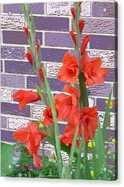 Red Gladiolas Acrylic Print