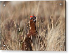 Red Grouse Calling Acrylic Print