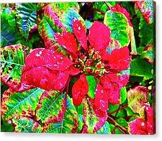 Red Hawaiian Poinsettia Acrylic Print