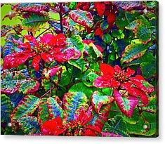 Red Hawaiian Poinsettias In Puna Acrylic Print
