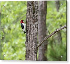 Red-headed Woodpecker 2017-1 Acrylic Print by Thomas Young