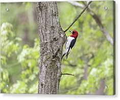 Red-headed Woodpecker 2017-2 Acrylic Print by Thomas Young