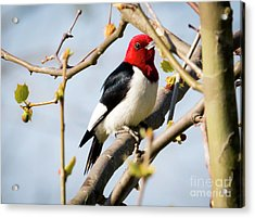 Acrylic Print featuring the photograph Red-headed Woodpecker At A Glace  by Ricky L Jones