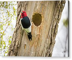 Red-headed Woodpecker At Home Acrylic Print