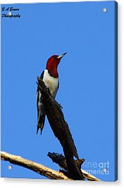 Red Headed Woodpecker On A Snag Acrylic Print