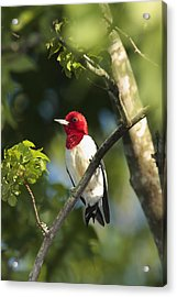 Red-headed Woodpecker Perched On A Tree Acrylic Print by George Grall