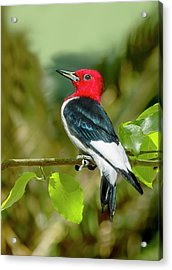 Red-headed Woodpecker Portrait Acrylic Print