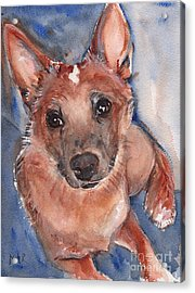 Red Heeler Pup Acrylic Print by Maria's Watercolor