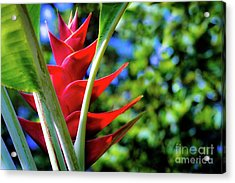 Red Heliconia Hawaii Acrylic Print by D Davila