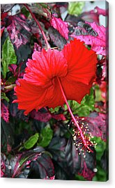 Red Hibiscus  Acrylic Print by Inspirational Photo Creations Audrey Woods
