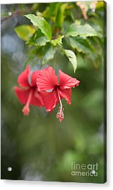 Red Hibiscus Details Acrylic Print by Mike Reid