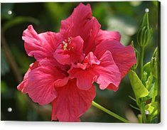 Red Hibiscus Flower 5 Acrylic Print