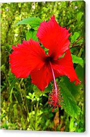 Red Hibiscus In Puna Acrylic Print