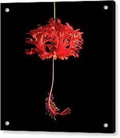 Red Hibiscus Schizopetalus On Black Acrylic Print
