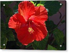 Red Hibiscus Acrylic Print by Susanne Van Hulst