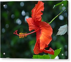 Red Hibiscus Acrylic Print by Valerie Ornstein