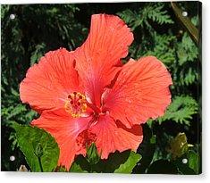 Red Hibiscus Acrylic Print by Wayne Skeen