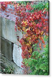 Red Ivy Acrylic Print by Gene Ritchhart