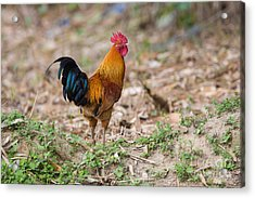 Red Jungle Fowl, India Acrylic Print