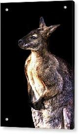 Red Kangaroo Acrylic Print