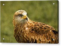 Acrylic Print featuring the photograph Red Kite by Scott Carruthers