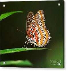 Red Lacewing Butterfly Acrylic Print by Louise Heusinkveld