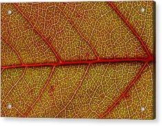 Red Leaf Macro Acrylic Print by Frank Tschakert