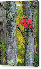 Acrylic Print featuring the photograph Red Leaves by Gary Lengyel