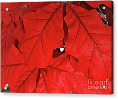 Red Leaves  Acrylic Print by Rachel Hannah