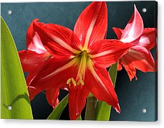Red Lily Flower Trio Acrylic Print