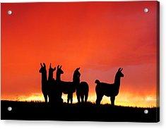 Red Llama Sunset 1 Acrylic Print