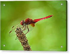Red Male Dragonfly Crocothemis Erythraea Perching Acrylic Print by Igor Voljch