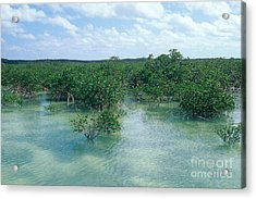 Red Mangrove Forest Acrylic Print by John Kaprielian