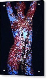 Red Maple Acrylic Print by Arla Patch