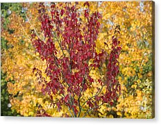 Red Maple Autumn  Acrylic Print by Tim Gainey