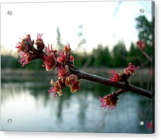Red Maple Buds At Dawn Acrylic Print by Kent Lorentzen