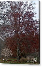 Red Maple Acrylic Print by Emily Kelley
