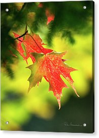 Red Maple Leaves 4983 Acrylic Print