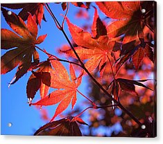 Red Maple Acrylic Print by Rona Black