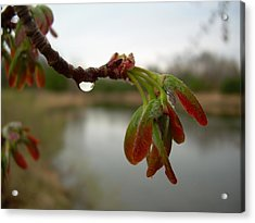 Red Maple Seed Pods At Dawn Acrylic Print