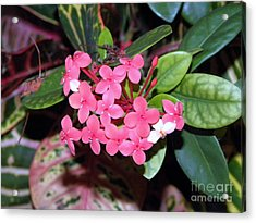 Acrylic Print featuring the photograph Red Maui Ixora by Terri Mills