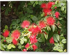 Red Mimosa Flowers Acrylic Print