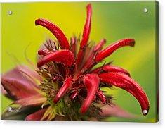 Red Monarda Flowers - Bee Balm Acrylic Print by Christina Rollo